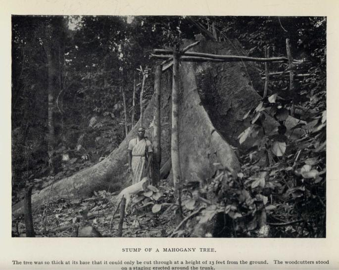 STUMP OF A MAHOGANY TREE. The tree was so thick at its base that it could only be cut through at a height of 13 feet from the ground.  The woodcutters stood on a staging erected around the trunk.