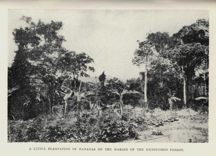 A LITTLE PLANTATION OF BANANAS ON THE MARGIN OF THE UNTOUCHED FOREST