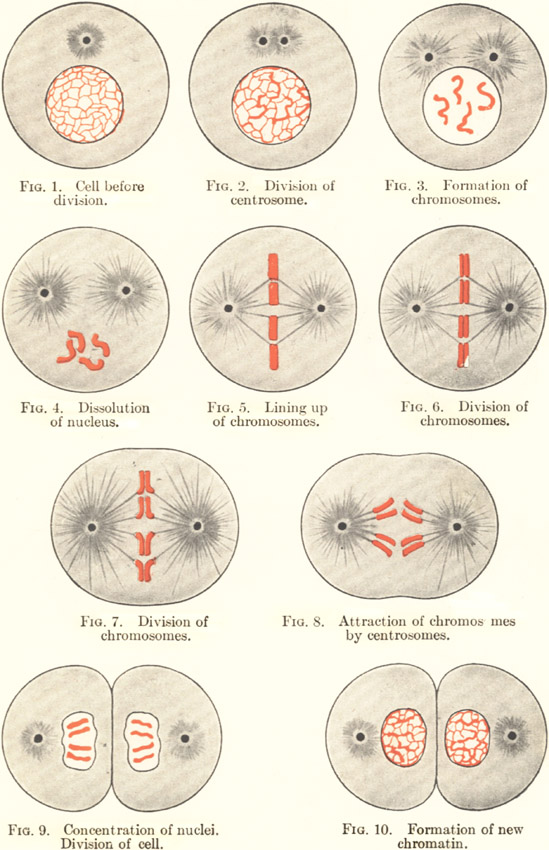 Plate 1: Cell Division