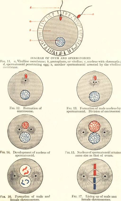 Plate 2: Fertilization of the Ovum by the Spermatozoid