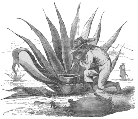 MAKING PULQUE.