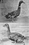 etext:h:harry-m-lamon-ducks-and-geese-fig06_tn.jpg