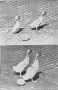 etext:h:harry-m-lamon-ducks-and-geese-fig29.jpg