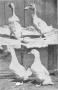 etext:h:harry-m-lamon-ducks-and-geese-fig30.jpg