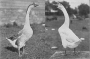 etext:h:harry-m-lamon-ducks-and-geese-fig53_tn.jpg