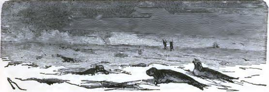 Seals on the ice