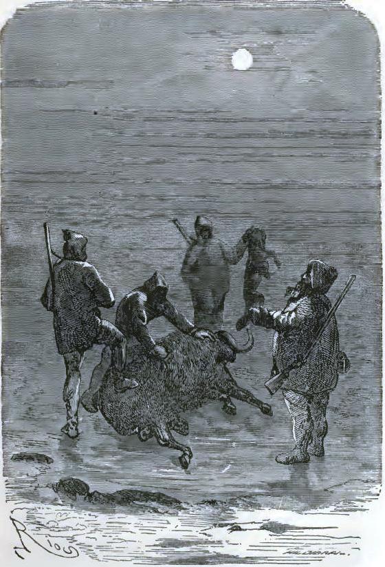 Altamont shot a medium-sized musk-ox