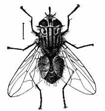 Fig. 1.--The stable fly. Much enlarged.