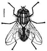 Fig. 3.--The true house fly. Enlarged.