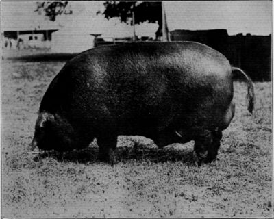 LARGE BLACK BOAR