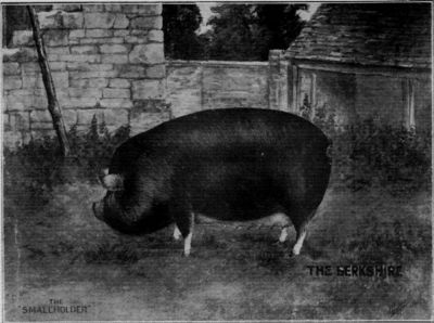 A BERKSHIRE SOW.