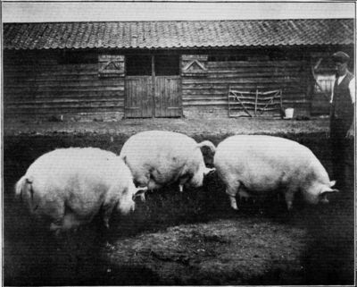 THREE MIDDLE WHITE BREEDING SOWS.