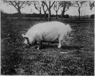 A MIDDLE WHITE BOAR.