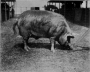 etext:s:sanders-spencer-the-pigs-imagep064_0001.jpg