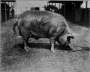 etext:s:sanders-spencer-the-pigs-imagep064_0001_tn.jpg
