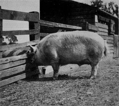 LARGE WHITE BOAR.