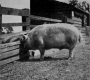 etext:s:sanders-spencer-the-pigs-imagep080_0001_tn.jpg