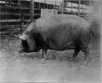 "TAMWORTH SOW, ""QUEEN OF THE FAIRIES."""