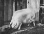 etext:s:sanders-spencer-the-pigs-imagep097_0001.jpg