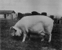 etext:s:sanders-spencer-the-pigs-imagep112_0001.jpg
