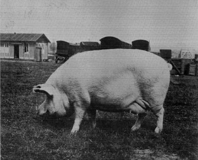 "LARGE WHITE SOW, ""WORSLEY SUNBEAM."""