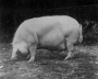 etext:s:sanders-spencer-the-pigs-imagep113_0001.jpg