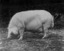 etext:s:sanders-spencer-the-pigs-imagep113_0001.jpg