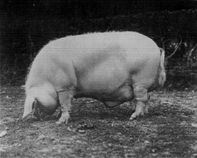 LARGE WHITE ULSTER BOAR.