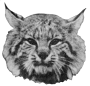 etext:s:stanley-young-hints-on-bobcat-trapping-page_0a.png