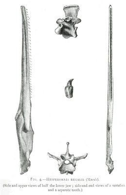 FIG. 4.—HESPERORNIS REGALIS (Marsh).