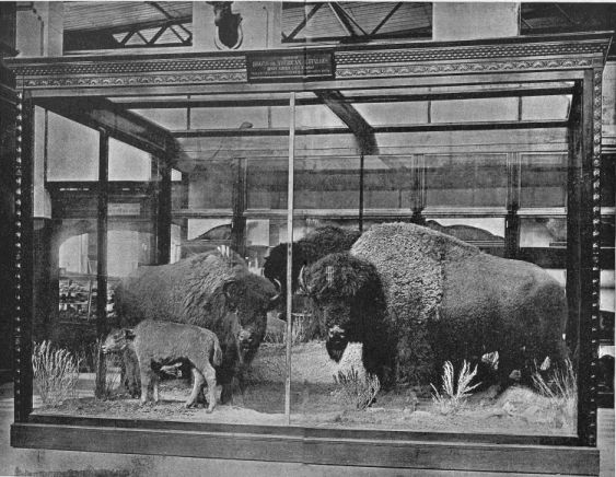 GROUP OF AMERICAN BISONS Collected and mounted IN THE NATIONAL MUSEUM.