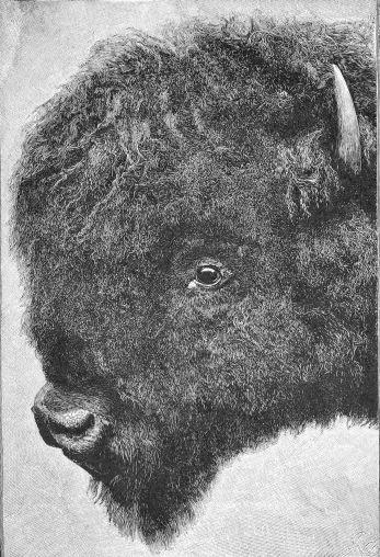 Head of bull buffalo