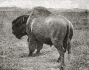 etext:w:william-hornaday-extermination-american-bison-008.jpg