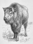 etext:w:william-hornaday-extermination-american-bison-014.jpg