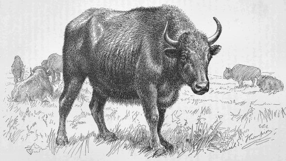 HALF-BREED (BUFFALO-DOMESTIC) COW.