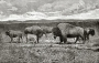 etext:w:william-hornaday-extermination-american-bison-024.jpg