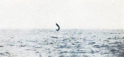 Leaping Sailfish 2