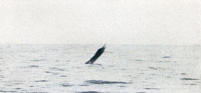Leaping Sailfish 3