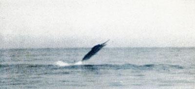 Leaping Sailfish 1
