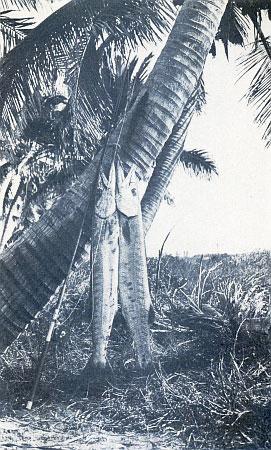 TWIN TIGERS OF THE SEA—THE SAVAGE BARRACUDA