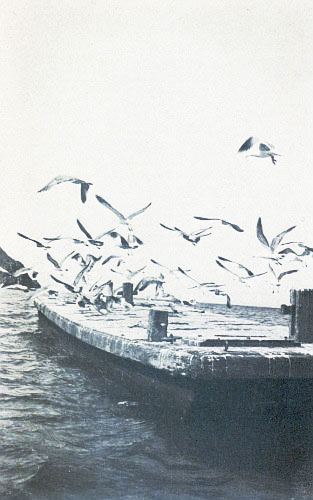 THE OLD AVALON BARGE WHERE THE GULLS FISH AND SCREAM