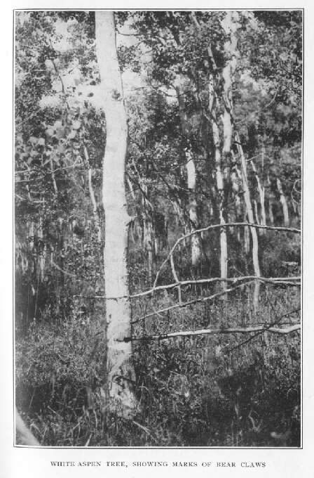 White Aspen Tree, Showing Marks of Bear Claws