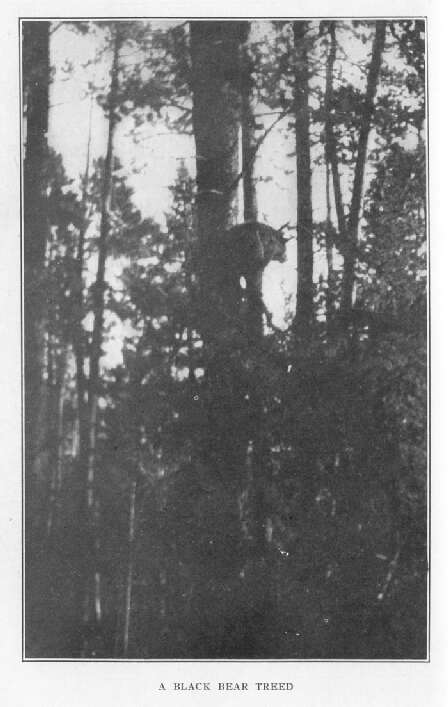 A Black Bear Treed