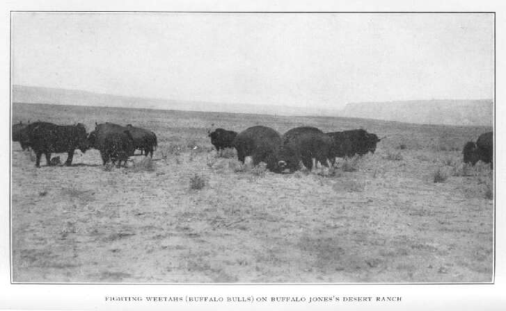 Fighting Weetahs (buffalo Bulls) on Buffalo Jones's Desert Ranch