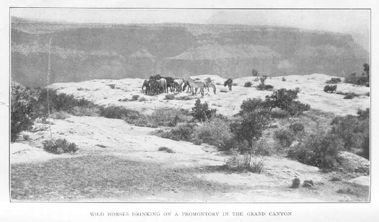 Wild Horses Drinking on a Promontory in the Grand Canyon
