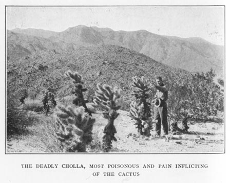 The Deadly Cholla, Most Poisonous and Pain Inflicting Of The Cactus