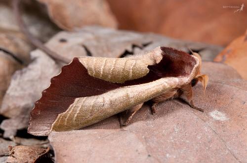 Camoflauged Moth